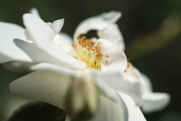 Close up of a single white rose with leaves on blurry background Flowering Plant Flower Vulnerability  Fragility Plant Freshness Growth Beauty In Nature Petal Flower Head Inflorescence Pollen Close-up White Color Day Selective Focus Nature No People Focus On Foreground Outdoors
