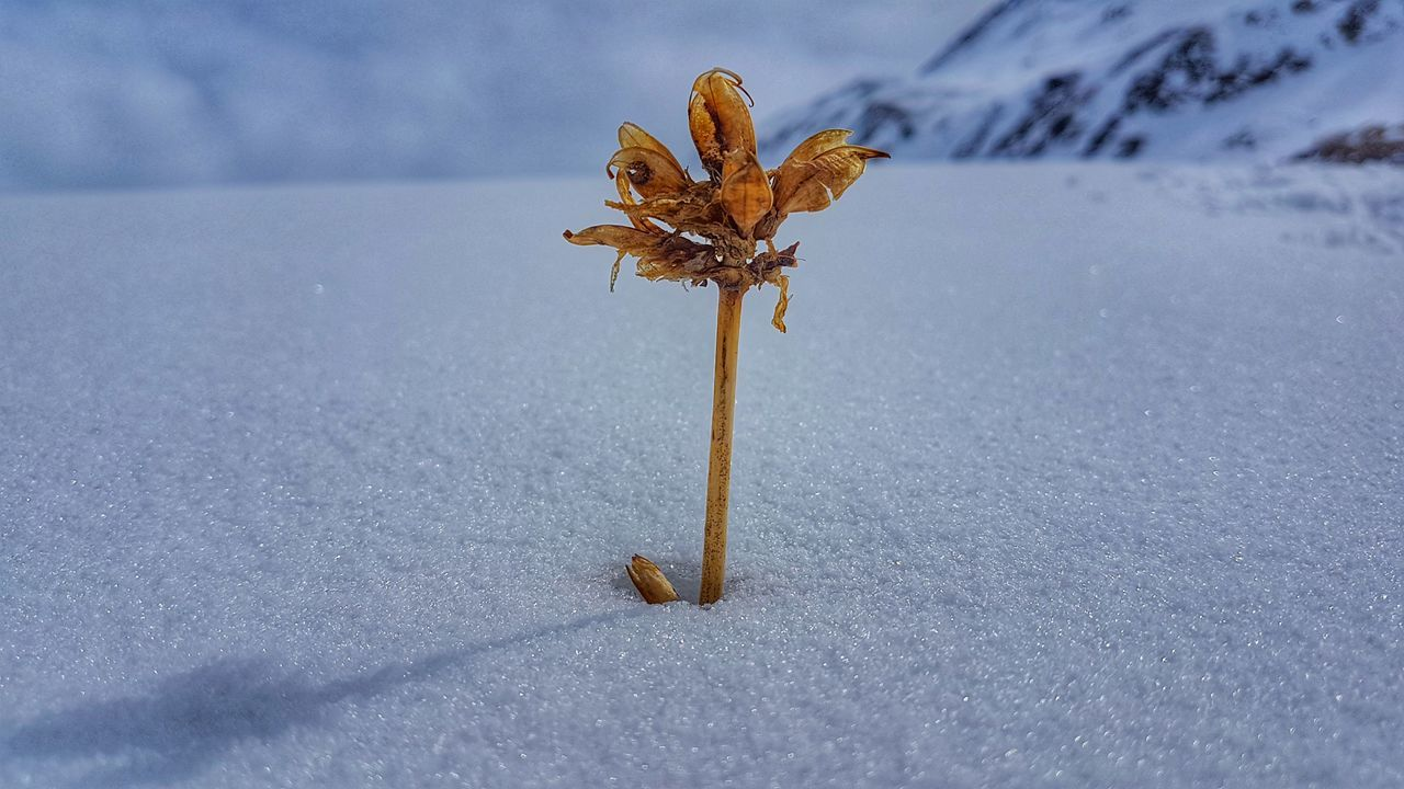 nature, beauty in nature, day, no people, fragility, close-up, outdoors, leaf, cold temperature, flower head