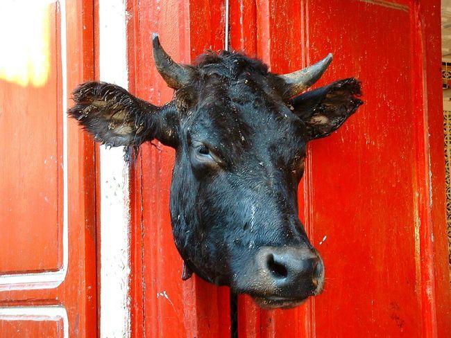 Bull Tunisia Butcher HEAD Fresh Meat