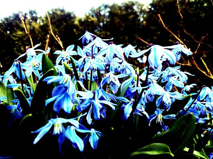 Flowers,Plants & Garden Bluebells, Spring, Springtim Colorful Close-up Mobilephotography