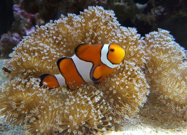 Nemo Clown Fish Aquarium Life Aquatic Life Saltwater Aquarium Relaxing Chilling Happy Happy Fish! Ocean Life