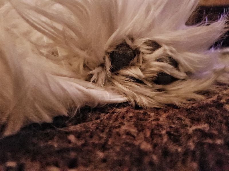The love in one paw Photo Photography Eos77D Canon MR7 Dog Love Animal Home Sweet Paw Color Maltese White No People Textile Backgrounds Textured  Day Nature Indoors