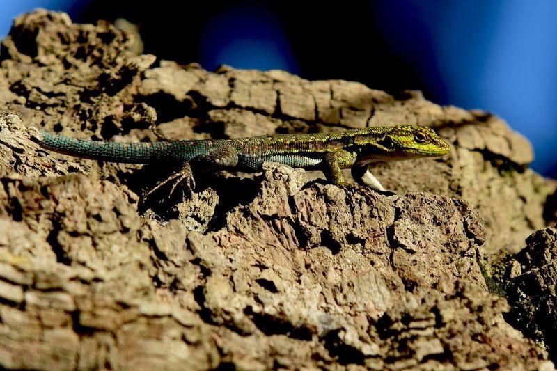 Lagartija, en la reseva natural de los pueblos originarios Mapuches. Animal Themes Animals In The Wild Arid Climate No People One Animal Reptile Wildlife Zoology