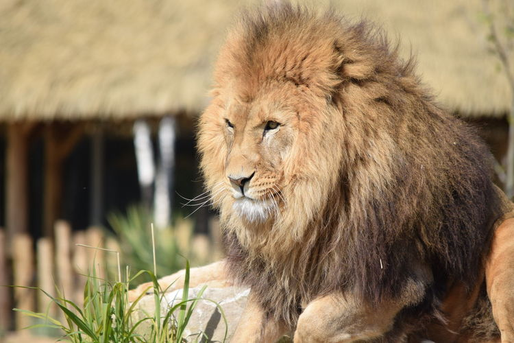 lion Animal Themes Animal Wildlife Animals In The Wild Close-up Day Feline King Lion Lion - Feline Mammal Nature No People One Animal Outdoors Powerful Rock Strong