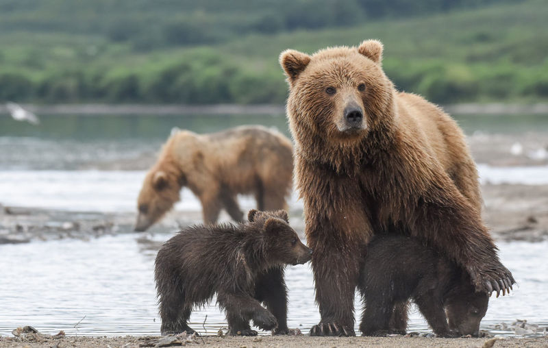 Grizzly Bear Family At Lakeshore