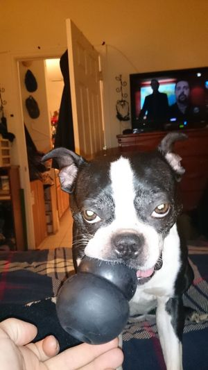 """""""Passing some time @ 3am, during an all-nighter because alarms just don't cut it anymore..."""" Boston Terrier, Cute, Pet, Best Friend 3am Thoughts As Shot Unedited Purist No Edit No Filter Pets Dog Indoors  One Animal Domestic Animals Home Interior Mammal Animal Themes Looking At Camera No People Close-up"""