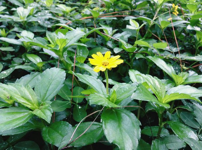 Flowers Flower Head Leaf Plant Close-up Flower Outdoors Green Color Nature Freshness Beautiful Flowers 🌸 Simple Photography Nature Photography Land Philippines ❤️ World Philippines Photos Beautiful World 🌍 Colorful Flowers Plants And Flowers Plant Blooming Yellow Colors Yellow Flowers