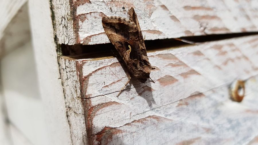 Moth Rusty