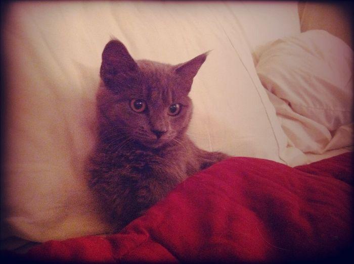 gray kitten. Gray Kitten.