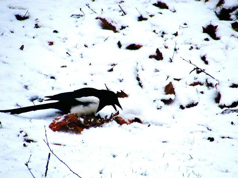 Bird Snow Bird Photography Taking Photos Snow❄⛄ Winter Eurasian Magpie