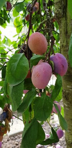 Plum Fruit Leaf Tree Close-up Plant Food And Drink Green Color Growing