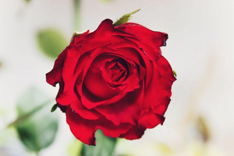 Flower Red Rose