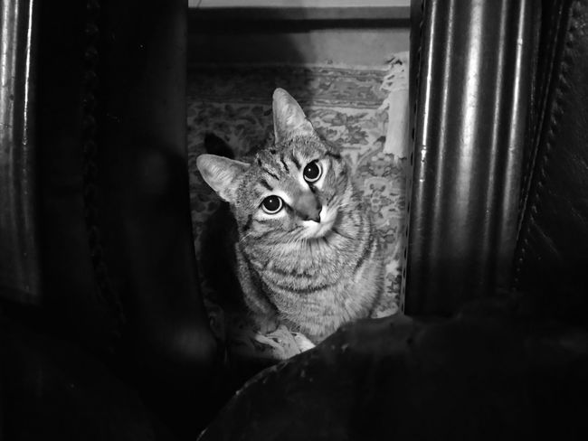 Nabù Eyes Pets Hello World House Home Cat Cat Lovers Bw_collection One Animal Animal Themes Domestic Cat Pets No People Day Looking At Camera Indoors  Portrait Feline Mammal Domestic Animals Close-up Nature