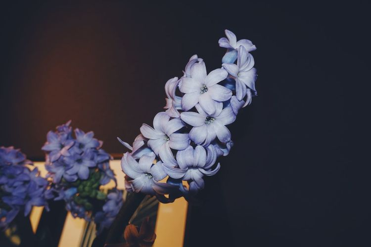 Flower Flower Head Plant Lifestyles Life Indoors  Beauty In Nature Flowering Plant Nature Growth Close-up Freshness Hyacinth Purple Blue Still Life Blooming Fragility Flower Arrangement Flowering Plant Colors Detail Black Background No People