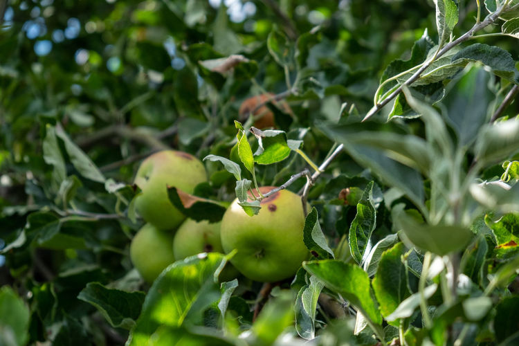 Close-up of apples on plant