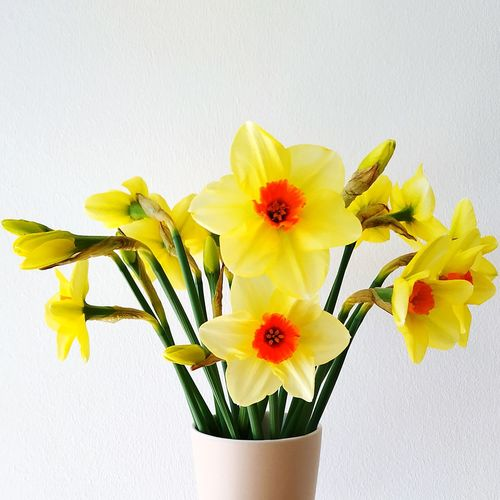 Close-up of yellow flowers in vase against white background