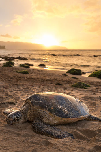Close-Up Of Turtle Relaxing On Sandy Beach During Sunset