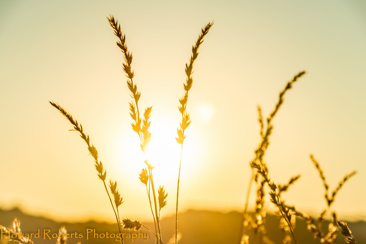 growth, nature, crop, cereal plant, field, beauty in nature, no people, agriculture, plant, rural scene, outdoors, tranquility, focus on foreground, wheat, close-up, sunset, ear of wheat, sky, day