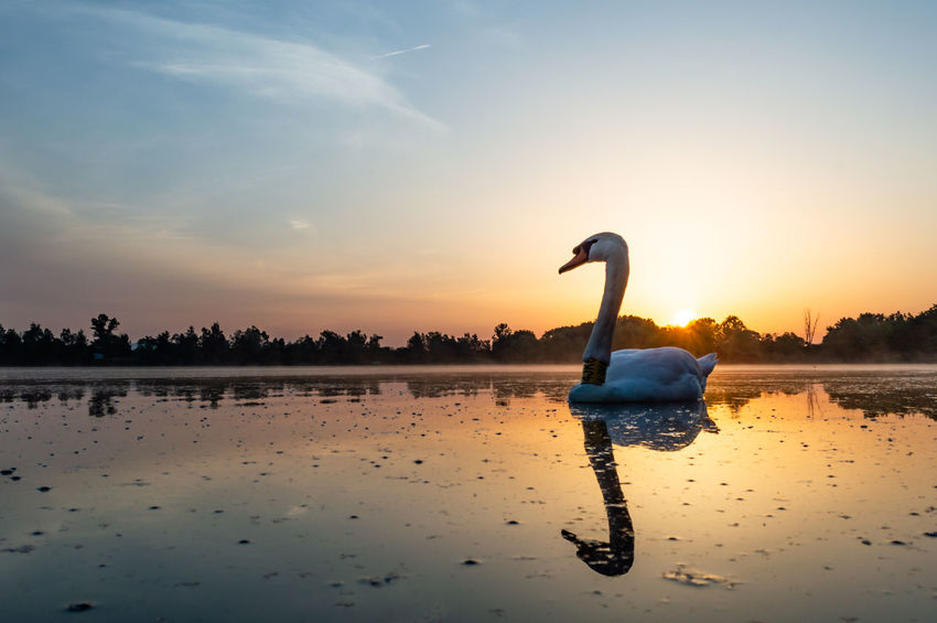 Sunrise, lake, swan Animal Animal Themes Animal Wildlife Animals In The Wild Beauty In Nature Bird Cloud - Sky Floating On Water Inflatable  Lake Nature No People Reflection Scenics - Nature Silhouette Sky Sunset Swan Tranquil Scene Tranquility Vertebrate Water Waterfront