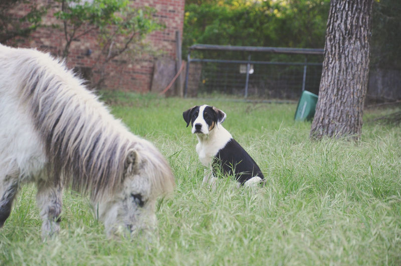 Miniature horse and dog on grassy field at farm