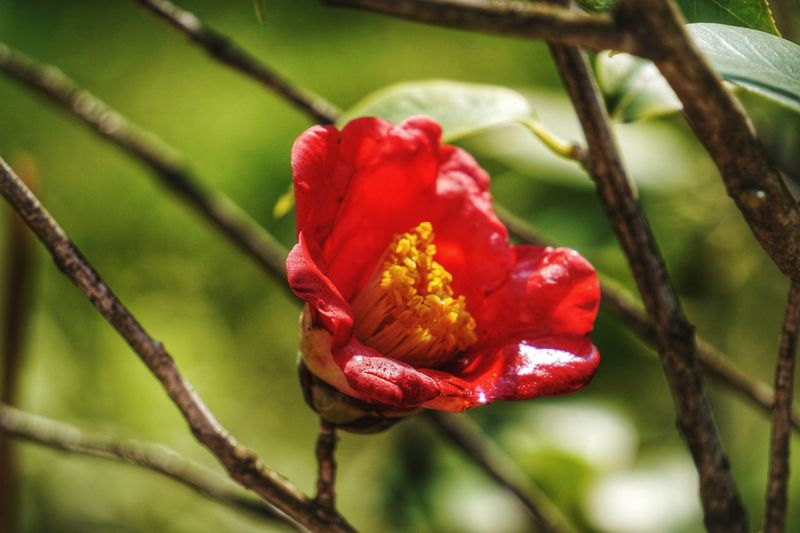 Red Nature Flower Rose - Flower Close-up Growth Plant No People Focus On Foreground Day Outdoors Beauty In Nature Poppy Freshness Tree Flower Head