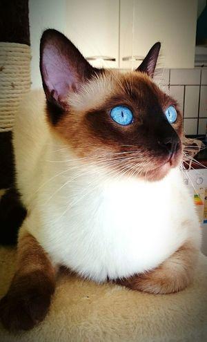 Wilpold Saphire Cat Siamcat