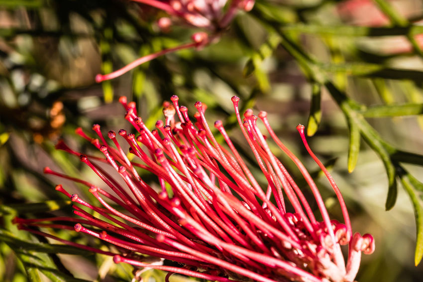 Callistemon 'Rocky Rambler' is an evergreen low growing shrub with fine thin leaves and bright red brush flowers with yellow tipped stamens. It flowers in summer, and attracts birds and insects. https://www.homedesigndirectory.com.au/gardening/plant-finder/plant-descriptions/callistemon-pearsonii/rocky-rambler/?plant-id=1453 Callistemon Beauty In Nature Close-up Flower Flower Head Flowering Plant Macro Red