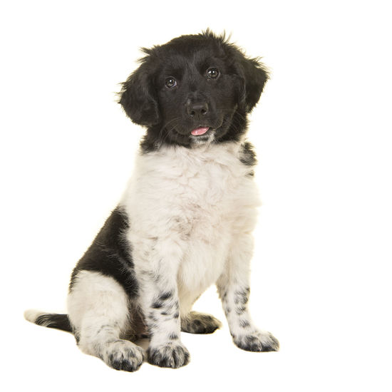 Cute stabyhoun puppy dog sitting looking at the camera isolated on a white background Rare Breed  Animal Dog Domestic Animals Dutch Breed Looking At Camera One Animal Pets Puppy Sitting Stabby Houn Stabbyhoun Stabyhoun Stabyhoun Puppy Studio Shot White Background