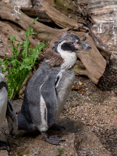 Animals in Captivity in Hellabrunn Zoo Animal Animal Themes Animals In Captivity Bird Birds Change Close-up Day Full Length Land Nature No People One Animal Outdoors Penguin Penguins Plant Rock Side View Solid Two Animals Two Penguins Vertebrate Young Penguin