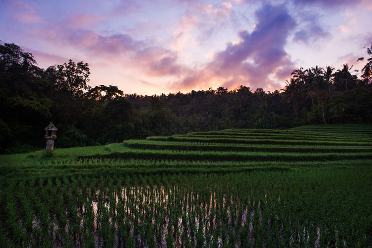 Agriculture Bali Bali, Indonesia Baliphotography Beauty In Nature Cloud Cloud - Sky Cultivated Land Field Green Color Landscape Nature No People Plantation Rice Field Rural Scene Scenics Sky Sunrise Terrace Field Tranquil Scene Tranquility Tree Water