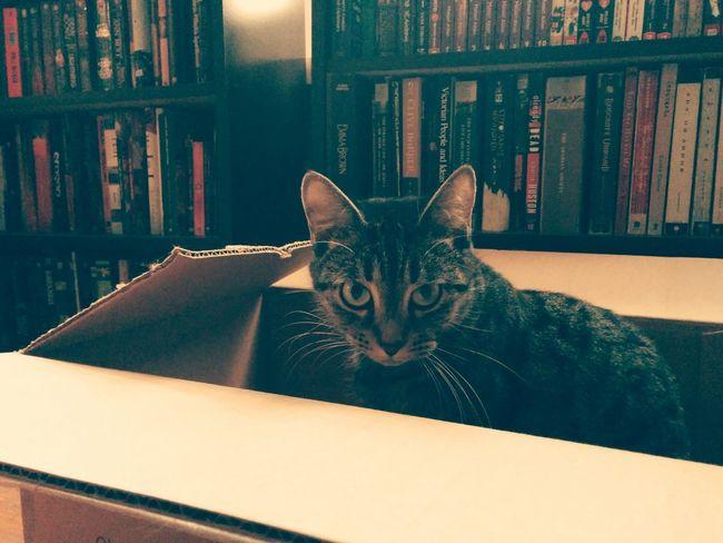 Lilu Dallas Cat In Box Mau Pets