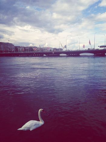 #In Genève Swan Beautiful View Schweiz