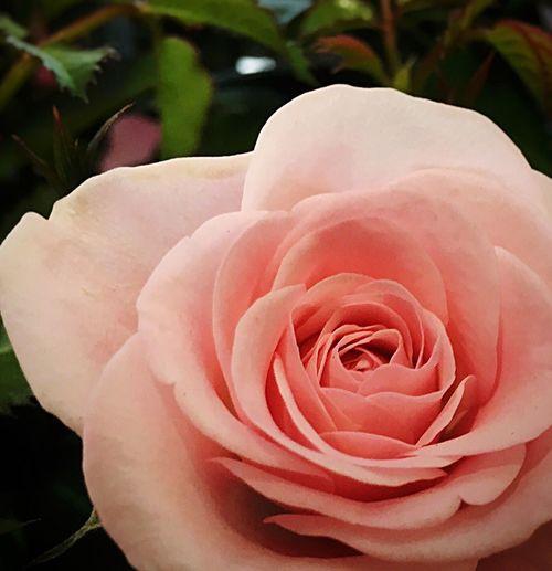 Beautiful miniature rose... Roses Pink Roses Miniature Rose Flowerporn Flowerphotography Flower Collection Flowerlovers Flower Phonephotography Flowers, Nature And Beauty Flowers,Plants & Garden Pastel Pink Petals