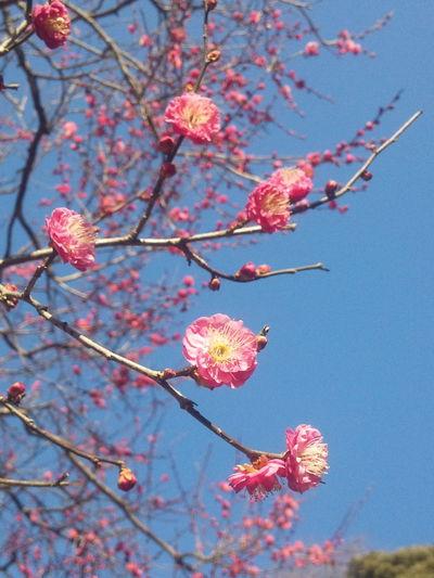 やっぱり咲いてたね。今日の陽気にはよく似合うな。 すっぴん Sky 紅梅