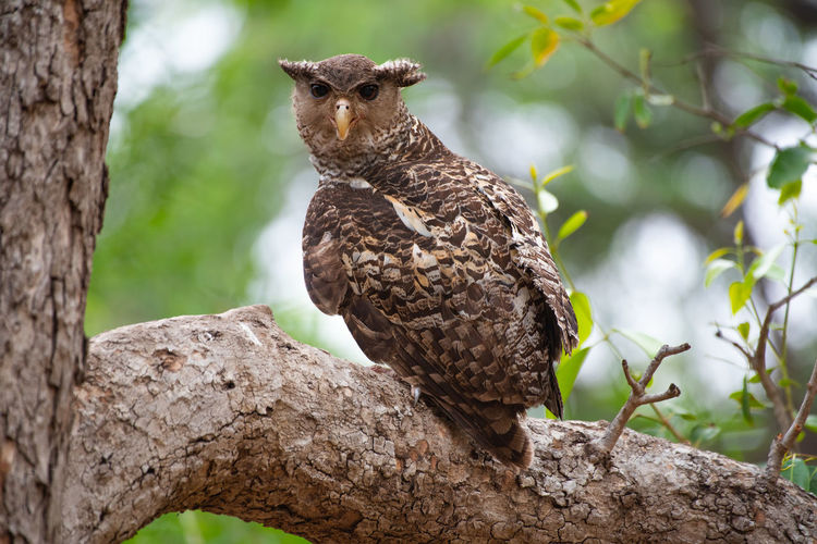 Low angle view of an owl perching on tree in the forests of india.