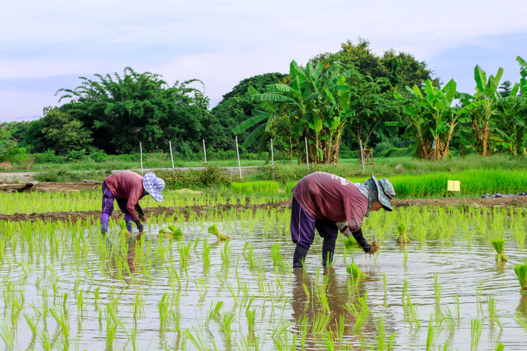 Rear view of people working in farm