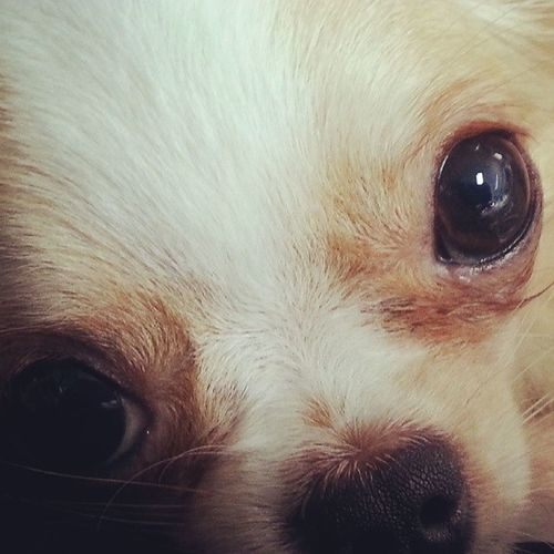 Puppy eyes Puppy Dog Little Dog Chihuahua Dog Looks At Camera Eye Contact