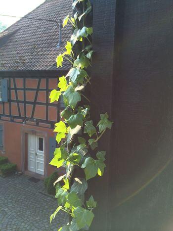 Efeu Leaves