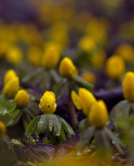Eranthis - #Eranthis #Signofspring #Springsigns #Spring #Springflowers #Springiscoming #Flower #Yellow #Fragility #Plant #Flowerhead #Nature #Blossom #Beauty #Closeup #Beautyinnature #Outdoors #Growth #Nopeople #Freshness #Denmark #Farum #Stavnsbo Eranthis Signofspring Springsigns Spring Springflowers Springiscoming Fragility Plant Flowerhead Nature Blossom Beauty Closeup Beautyinnature  Outdoors Growth Nopeople Freshness Denmark Stavnsbo Birkerød Flower Yellow Flower Head Close-up The Great Outdoors - 2018 EyeEm Awards