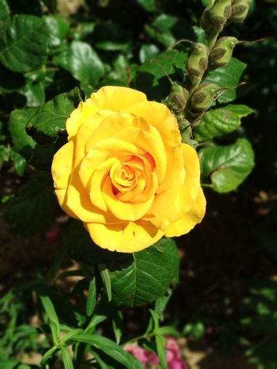 Flower Flowering Plant Plant Beauty In Nature Rosé Rose - Flower Yellow Nature Petal Flower Head Inflorescence Vulnerability  Fragility Growth Freshness Close-up Leaf Plant Part Vibrant Color No People