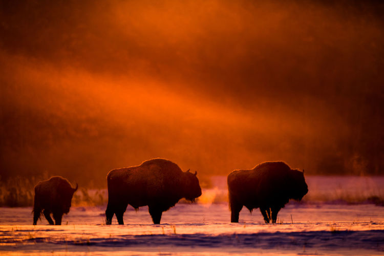 Bisons standing on snow covered land