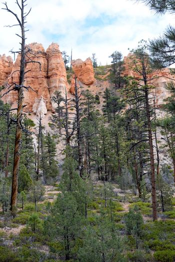 Trees and Hoodoos in Bryce Canyon Beautiful Nature Travel Destinations Geology Rock Formation Remote Pine Trees Scenic Scenery Amazing View Amzing Scenery Clouds Hoodoos Trees Tree Sky Nature Beauty In Nature Cloud - Sky Tranquility Day Tranquil Scene Scenics - Nature Low Angle View Idyllic