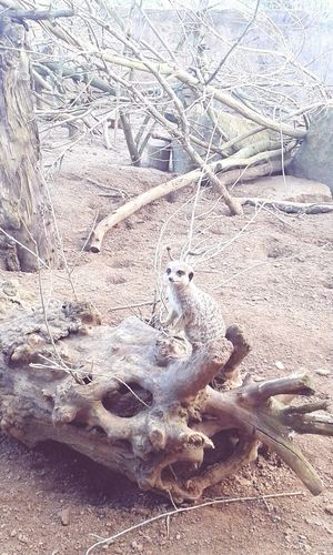 Chester Zoo Day Out Meerkat Simples