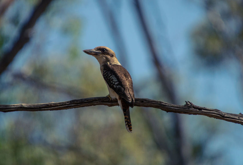 Laughing Kookaburra perching on a branch Animal Animals In The Wild Beak Beautiful Feathers Bird Bird On A Branch Birding Branch With A Bird Kookaburra Kookaburra In A Tree Lightroom Nature Outdoors Sigma Silhouette Sony Wildlife