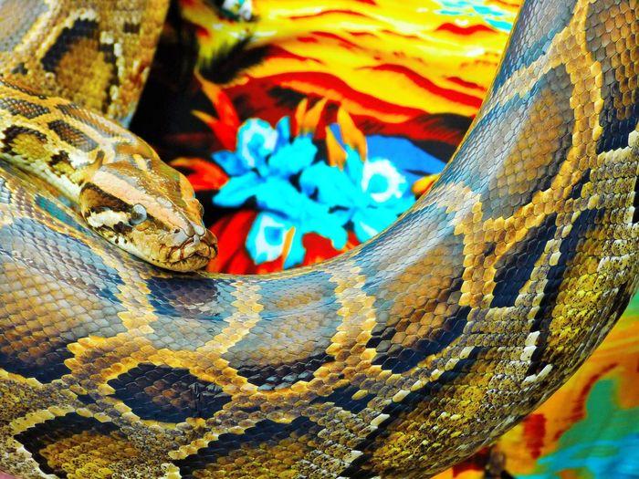 Snake, Vietnam