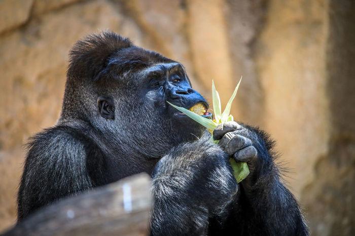 Gorilla Chimpanzee Eating EyeEm Best Shots The Week On EyeEm Thinking Animal Themes Food Gorilla Primate