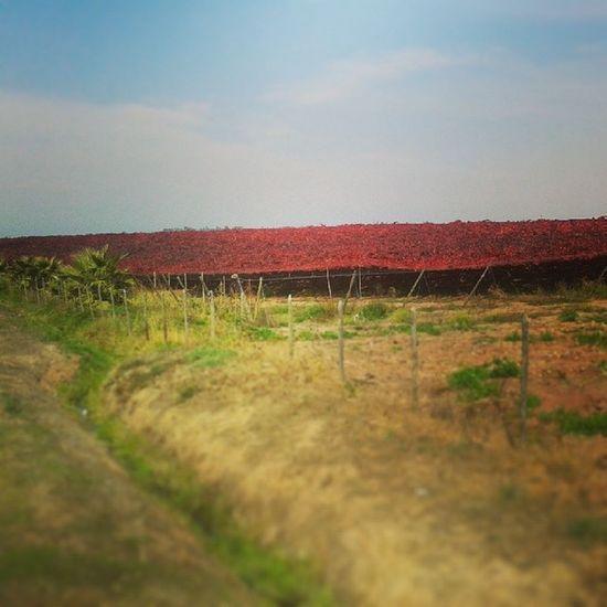 Manto Wine Redcarpet Cool vid viñas otoño