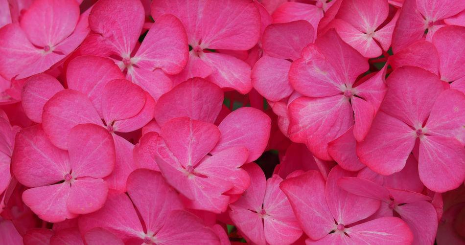Full frame shot of pink hydrangeas blooming in park