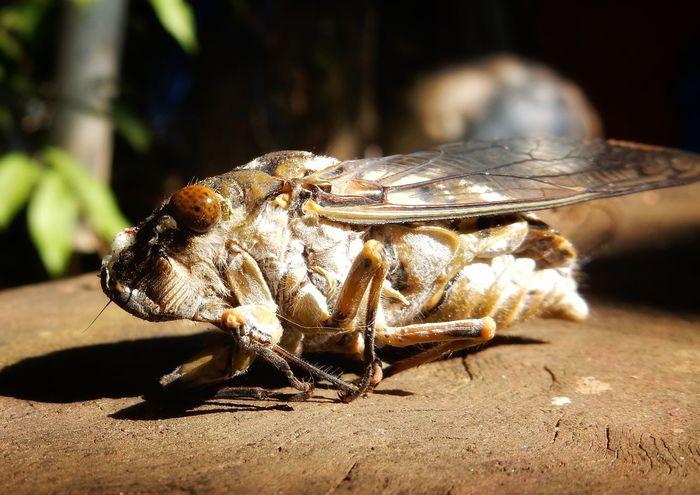 Animal Wildlife Buzzer Macro Closeup