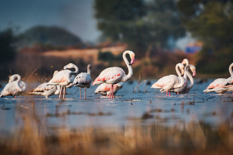 Group of flamingos in a lake